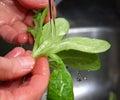 Rinse salad Royalty Free Stock Photo