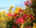 A riot of colour, red forest flame against yellow gorse. Royalty Free Stock Photo