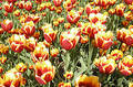 Riot of Tulips Royalty Free Stock Photo