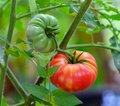 Tomatoes on the tree Royalty Free Stock Photo