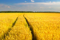 Ripe agricultural wheat field before harvest on sunny summer day Royalty Free Stock Photo