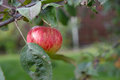 Ripe apple growing on a branch Royalty Free Stock Photo