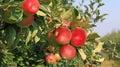 Ripe apple Royalty Free Stock Photo