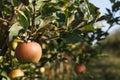 Ripe apple on a tree Royalty Free Stock Photo