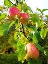 Ripe apple on tree Royalty Free Stock Photo