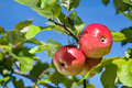 Ripe apples. Royalty Free Stock Photography