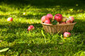 Ripe apples. Royalty Free Stock Photos