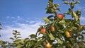 Ripe apples on an apple tree Royalty Free Stock Photo
