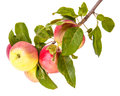 Ripe apples on a branch Royalty Free Stock Photo
