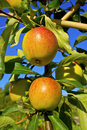 Ripe apples in a garden cox s orange pippin ripening on tree branch Royalty Free Stock Photography