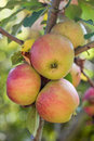 Ripe apples red and golden Royalty Free Stock Photo