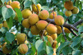 Ripe apricot fruits Royalty Free Stock Photo