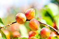 Ripe apricots on a branch among green leaves in summer Royalty Free Stock Photography