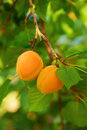 Ripe apricots on the branch several of an apricot tree Stock Photo