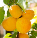Ripe apricots on the branch yellow Royalty Free Stock Photography
