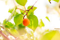 Ripe apricots growing on a branch among green leaves Stock Photo