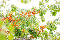 Ripe apricots growing on a branch among green leaves Royalty Free Stock Images