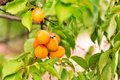 Ripe apricots growing on a branch among green leaves Stock Photos