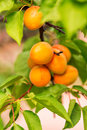 Ripe apricots growing on a branch among green leaves Stock Images