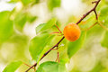 Ripe apricots growing on a branch among green leaves Royalty Free Stock Photos