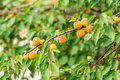 Ripe apricots growing on a branch among green leaves Royalty Free Stock Photography
