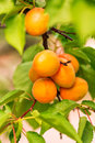 Ripe apricots growing on a branch among green leaves Stock Photography