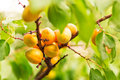 Ripe apricots growing on a branch among green leaves Royalty Free Stock Photo