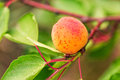 Ripe apricots growing on a branch among green leaves Royalty Free Stock Image
