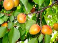 Ripe apricots on a tree branch Royalty Free Stock Photos
