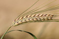 Ripe barley ear on beige field background one Royalty Free Stock Image