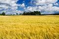 Ripe barley field Royalty Free Stock Photo