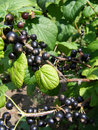 Ripe berries of the blackcurrant Royalty Free Stock Photography