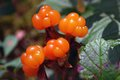 Ripe berries cloudberry is growing in the swamp the time of harvest in the forest Royalty Free Stock Photos