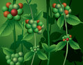 Ripe berries on coffee plant illustration of with green leaves Royalty Free Stock Photography