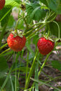 Ripe berries and foliage strawberry. Strawberries on a strawberry plant on organic strawberry farm.. Royalty Free Stock Photo