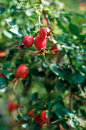 Ripe berries rosehip on a branch briar Stock Photo
