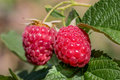 Ripe berry of raspberry close up Royalty Free Stock Photo