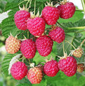 Ripe berry raspberry Royalty Free Stock Photo