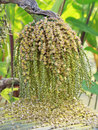 Ripe betel nut or are ca nut palm on tree Royalty Free Stock Photo