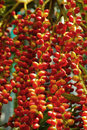Ripe betel nut red balls betel palm on tree Stock Image