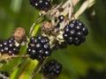 Ripe black wild blackberry on bush macro, selective focus, shallow DOF Royalty Free Stock Photo