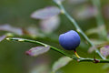 Ripe blueberries on the bush branches Stock Photos