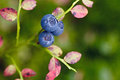 Ripe blueberries on the bush branches Royalty Free Stock Images