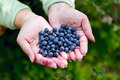 Ripe blueberries in the hands of the girl Royalty Free Stock Photography