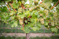 Ripe bunches of wine grapes on a vine in warm light Royalty Free Stock Photo