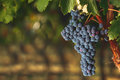 Ripe Cabernet grapes on vine Royalty Free Stock Photo