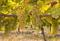 Ripe Chardonnay grapes on vine in autumn vineyard Royalty Free Stock Photo