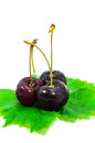 Ripe cherries. Royalty Free Stock Photo
