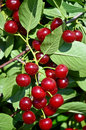 Ripe cherries beautiful in an european orchard Royalty Free Stock Photo