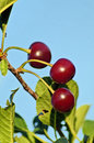 Ripe cherries beautiful in an european orchard Stock Photos